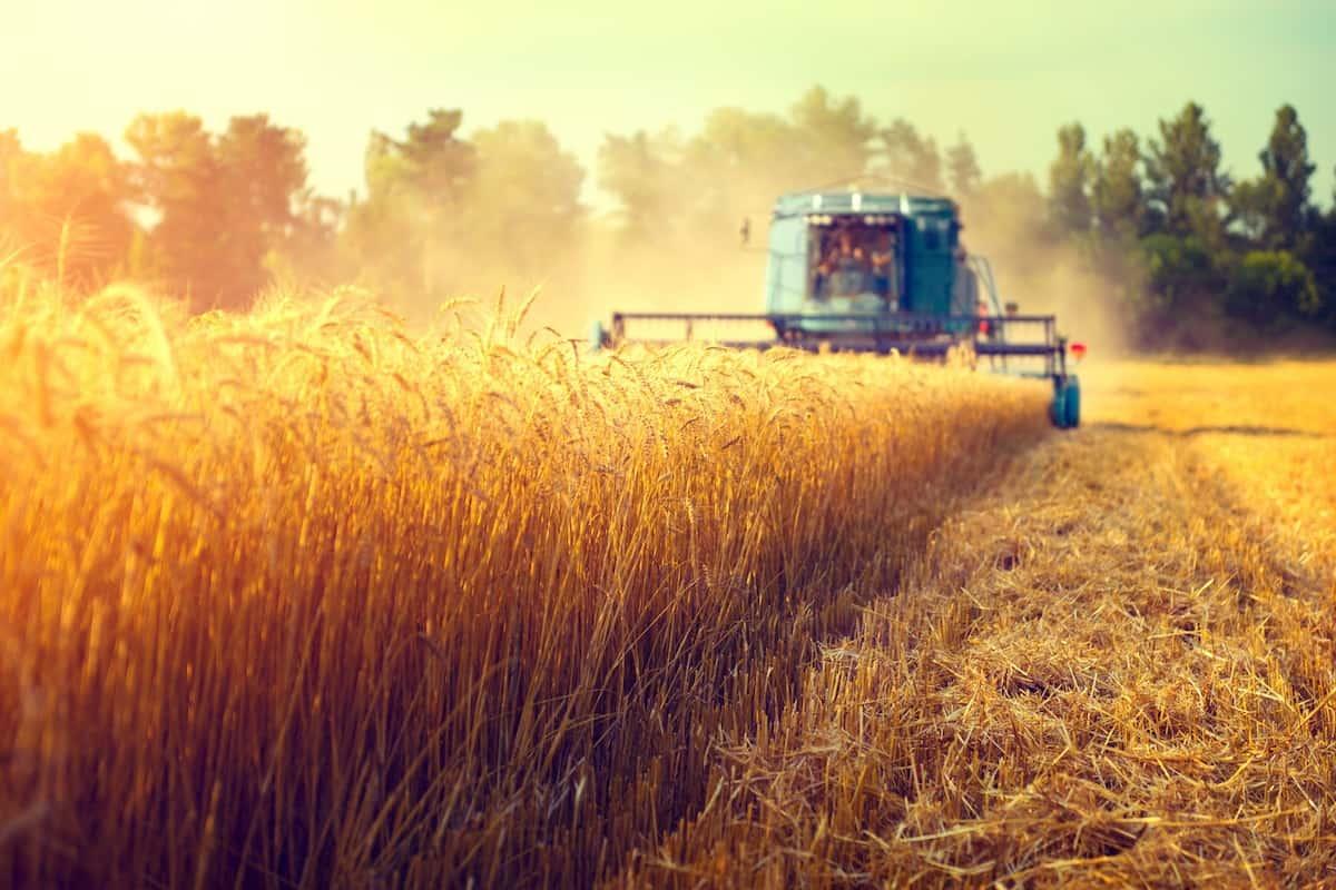 Combine harvesting beautiful golden wheat field